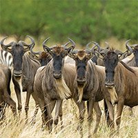 Experience the thrill of the Great Wildebeest Migration with Asilia Africa